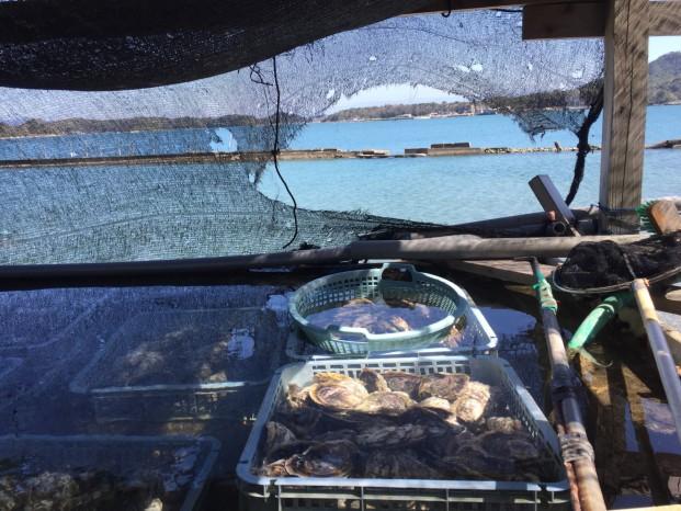 今年も塔の崎の岩牡蠣の話