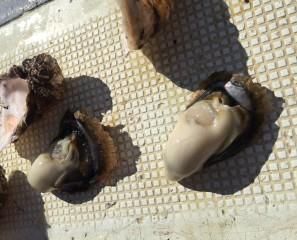 食用以外の牡蠣の話