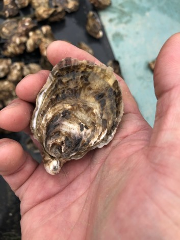 FISH HOUSE 2018国産真牡蠣スタートの話