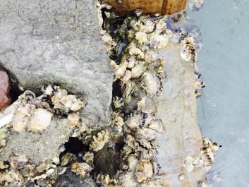 塔の崎の地牡蠣の話